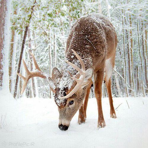 عکس پروفایل زمستان آهو
