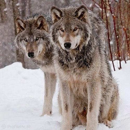 عکس دیدنی از حیوانات وحشی خطرناک