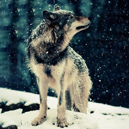 گرگ وحشی در برف