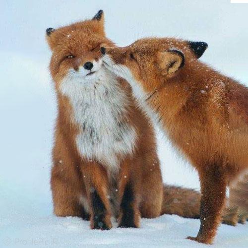 عکس پروفایل روباه ایرانی عاشقانه