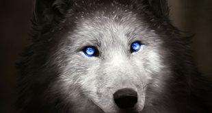 عکس پروفایل گرگ زیبا
