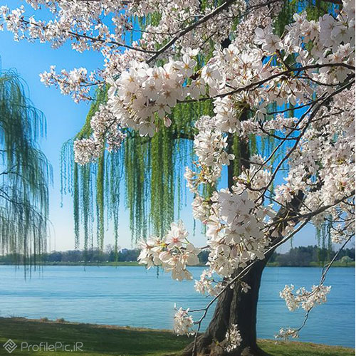 شکوفه بهاری برای عکس پروفایل