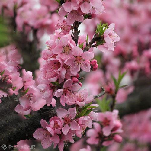 عکس شکوفههای بهاری برای پروفایل
